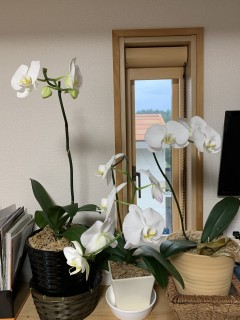 3度目の開花を目指す胡蝶蘭