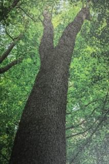 樹のはなし~ブラックチェリー