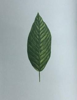 木のはなし~ブラックウォールナット