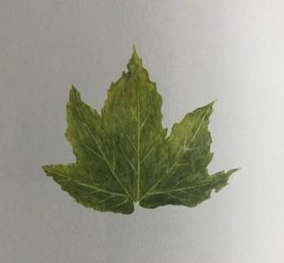 木のはなし~シカモア
