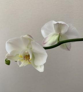 2度目の胡蝶蘭の花が咲いたよ!!!
